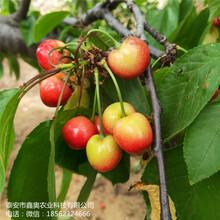 大量出售红灯樱桃树苗鑫奥农业布鲁克斯樱桃树苗图片