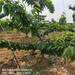 大量出售岱红樱桃树苗基地直销早红宝石樱桃树苗
