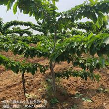 大量出售早红宝石樱桃树苗管理技术雷尼樱桃树苗图片