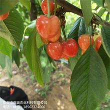 大量出售萨米脱樱桃树苗多少钱黄蜜樱桃树苗图片