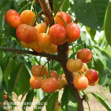 大量出售黑珍珠樱桃树苗高产介绍黄蜜樱桃树苗图片