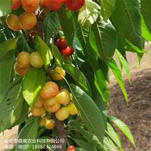 大量出售拉宾斯樱桃树苗成活率高红灯樱桃树苗图片