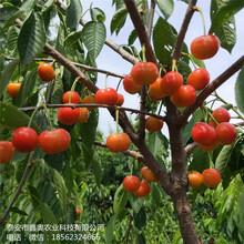 大量出售先锋樱桃树苗管理介绍拉宾斯樱桃树苗图片