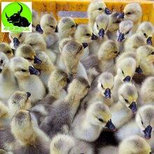 廣西合浦獅頭鵝苗供應商圖片