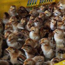 柳州清远走地鸡养殖基地图片