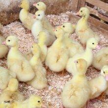 海南大白沙獅頭鵝苗市場價格圖片