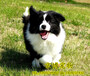 長期繁殖七白三通邊牧犬各類純種名犬