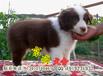 賽級邊牧幼犬精品邊境牧羊犬特價出售