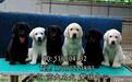 纯种拉布拉多幼犬精品拉布拉多幼犬出售置顶