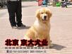 賽級金毛北京純種金毛幼犬金毛多少錢一只