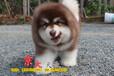 賽級阿拉斯加犬北京純種阿拉斯加幼犬出售京大犬業