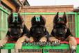 錘系德牧黑臉大頭短嘴腮皮錘系極品幼犬出售尖端德牧