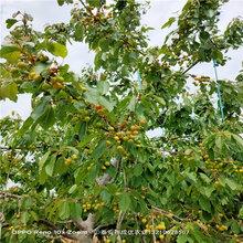 早大果樱桃苗樱桃树几年结果图片