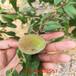 金魁桃树苗3公分桃苗价格