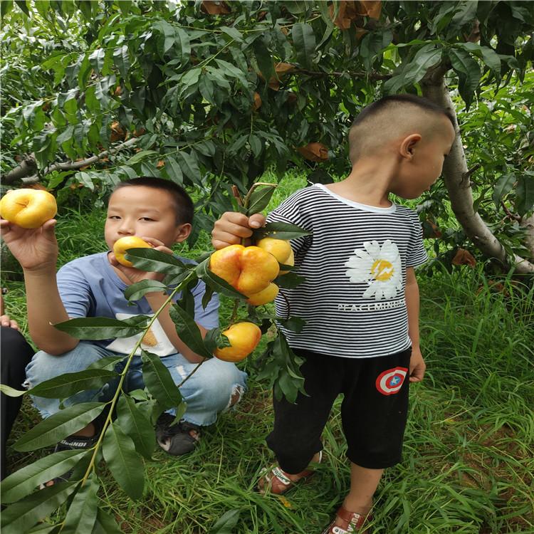 想買新品種桃苗短低溫油蟠桃