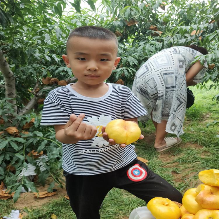 桃樹苗新品種 7-7油蟠桃