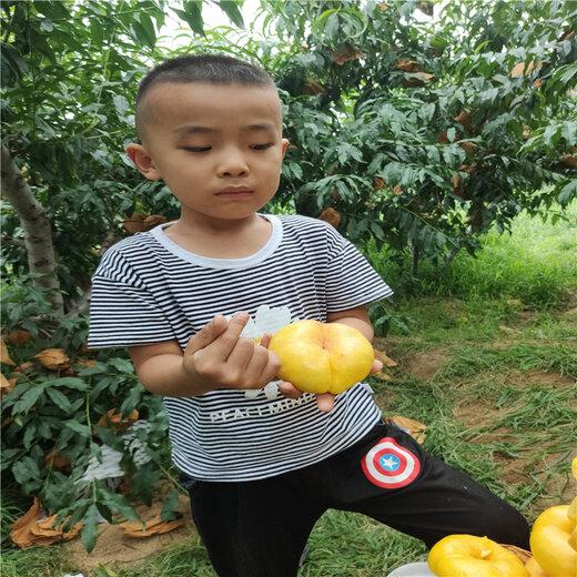桃樹苗新品種7-7油蟠桃