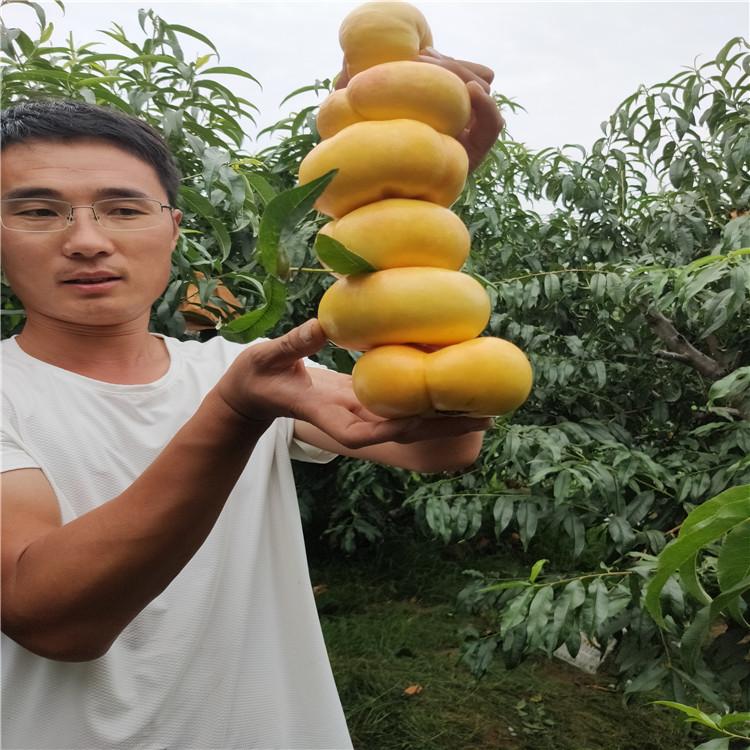 山東桃苗基地  油蟠桃成熟期