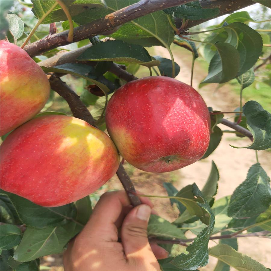 供应苹果苗 新鲁丽苹苗基地