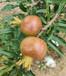 無籽石榴樹苗,軟子石榴樹苗
