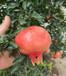 泰安石榴樹苗基地,河北石榴樹苗