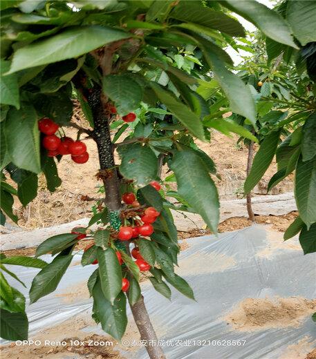 櫻桃樹產地直發