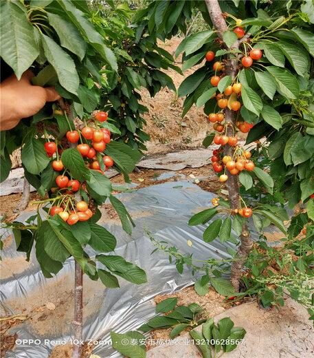 矮化櫻桃樹櫻桃苗價格表