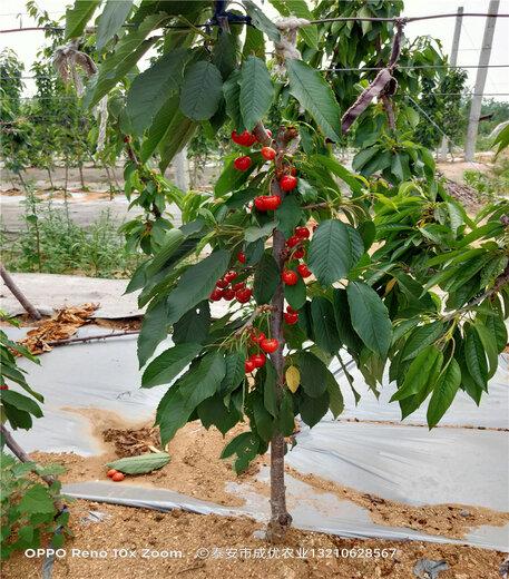 早大果櫻桃樹出售基地