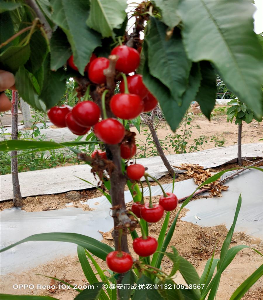 矮化櫻桃樹苗出售基地