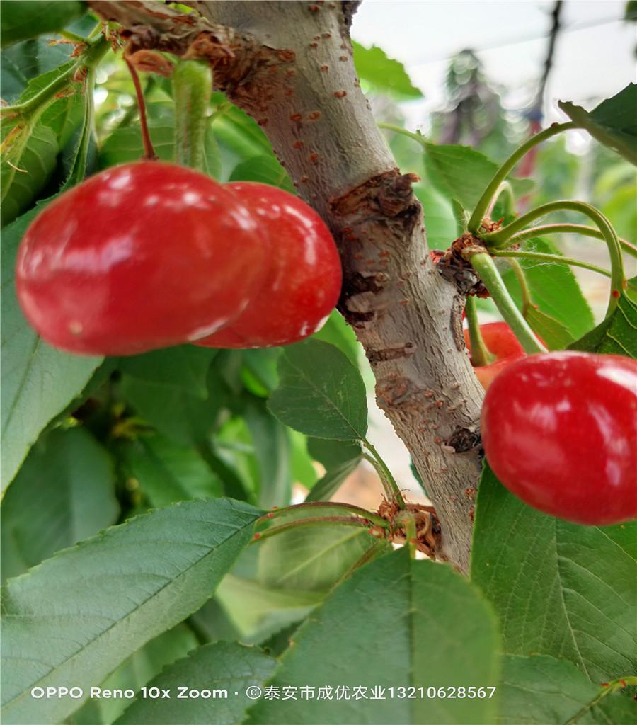 櫻桃吃的品種櫻桃樹苗基地
