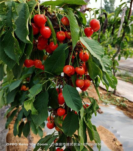 薩米脫櫻桃樹苗供應基地