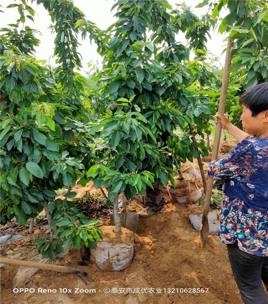 矮化櫻桃樹產地直發