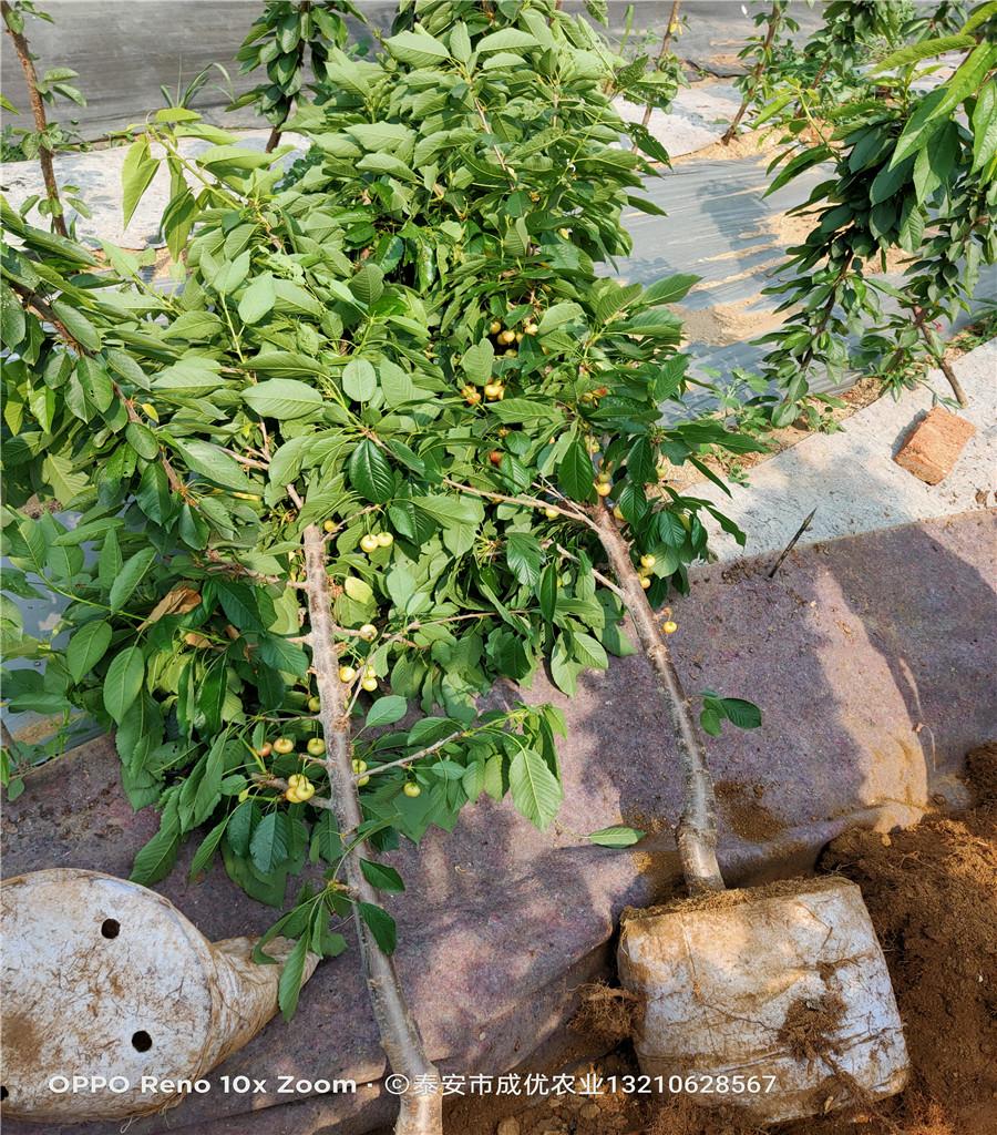 薩米脫櫻桃樹櫻桃苗新品種