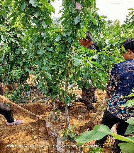 矮化砧櫻桃樹出售基地