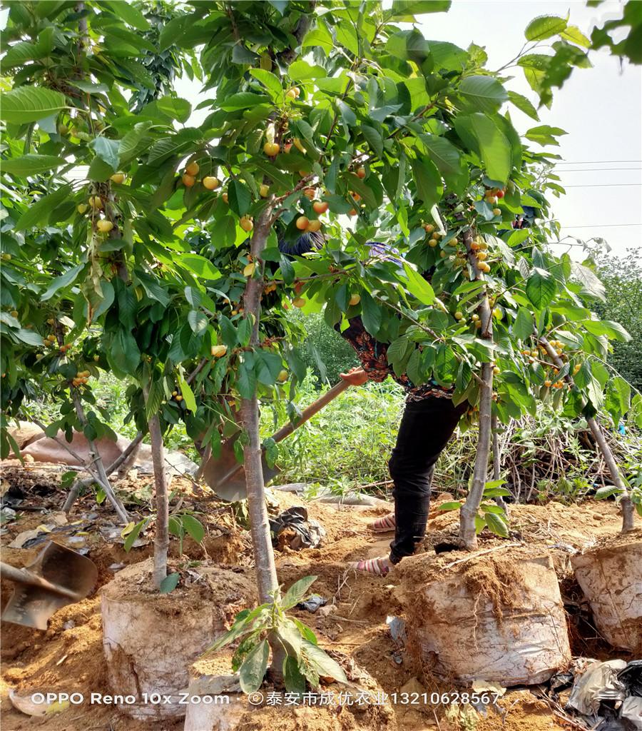 櫻桃樹櫻桃苗好品種