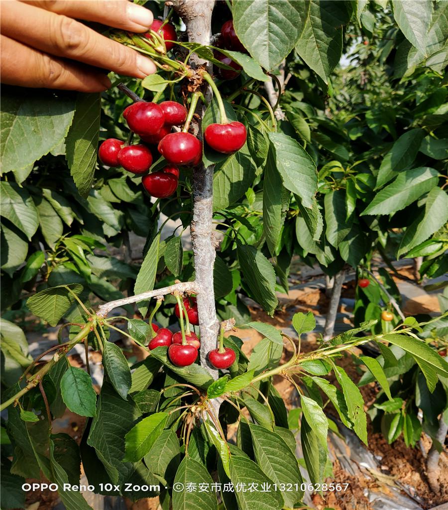 櫻桃樹苗供應基地