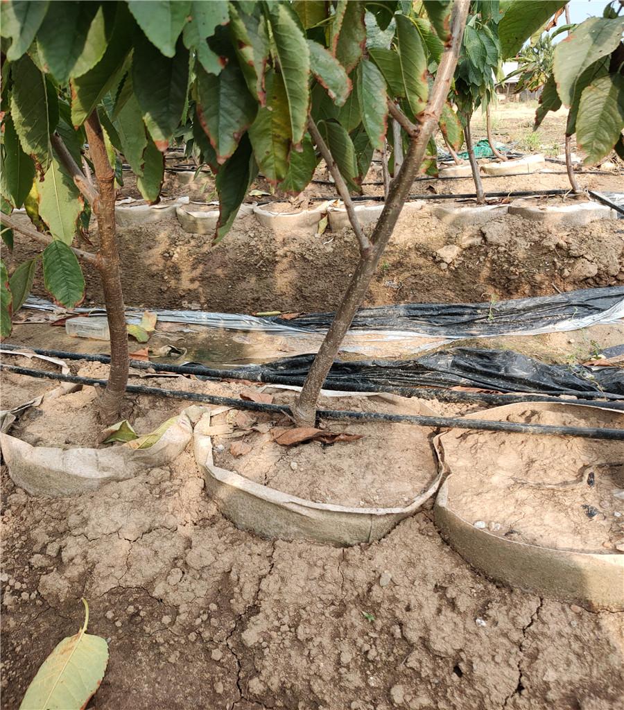 矮化櫻桃樹產地