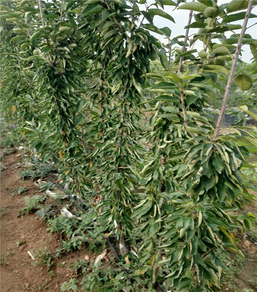 矮化砧櫻桃樹產地