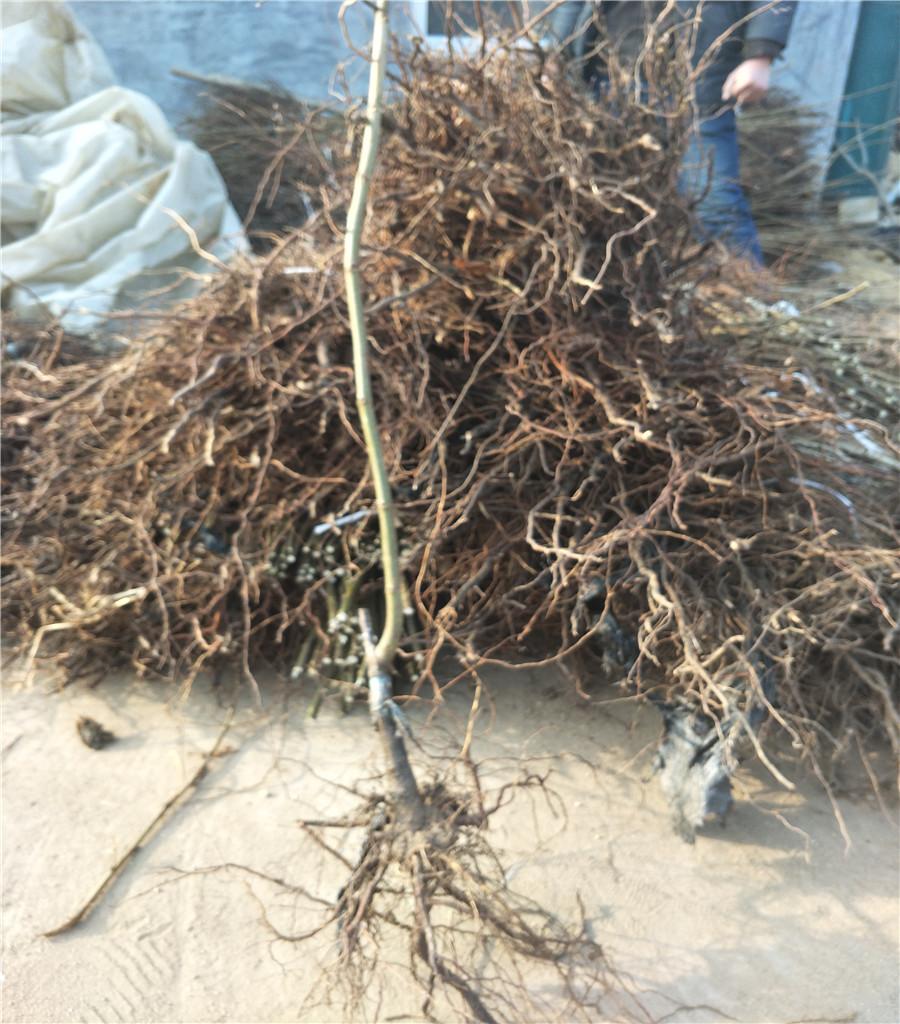 板栗樹苗板栗種植技術