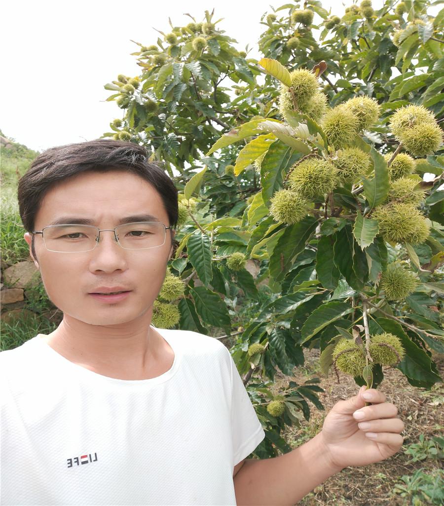 新品種板栗板栗種植技術