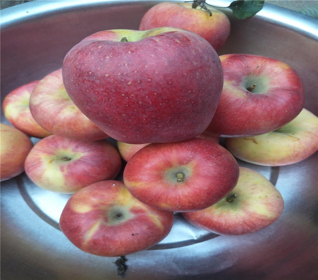 瑞雪蘋果苗蘋果苗基地