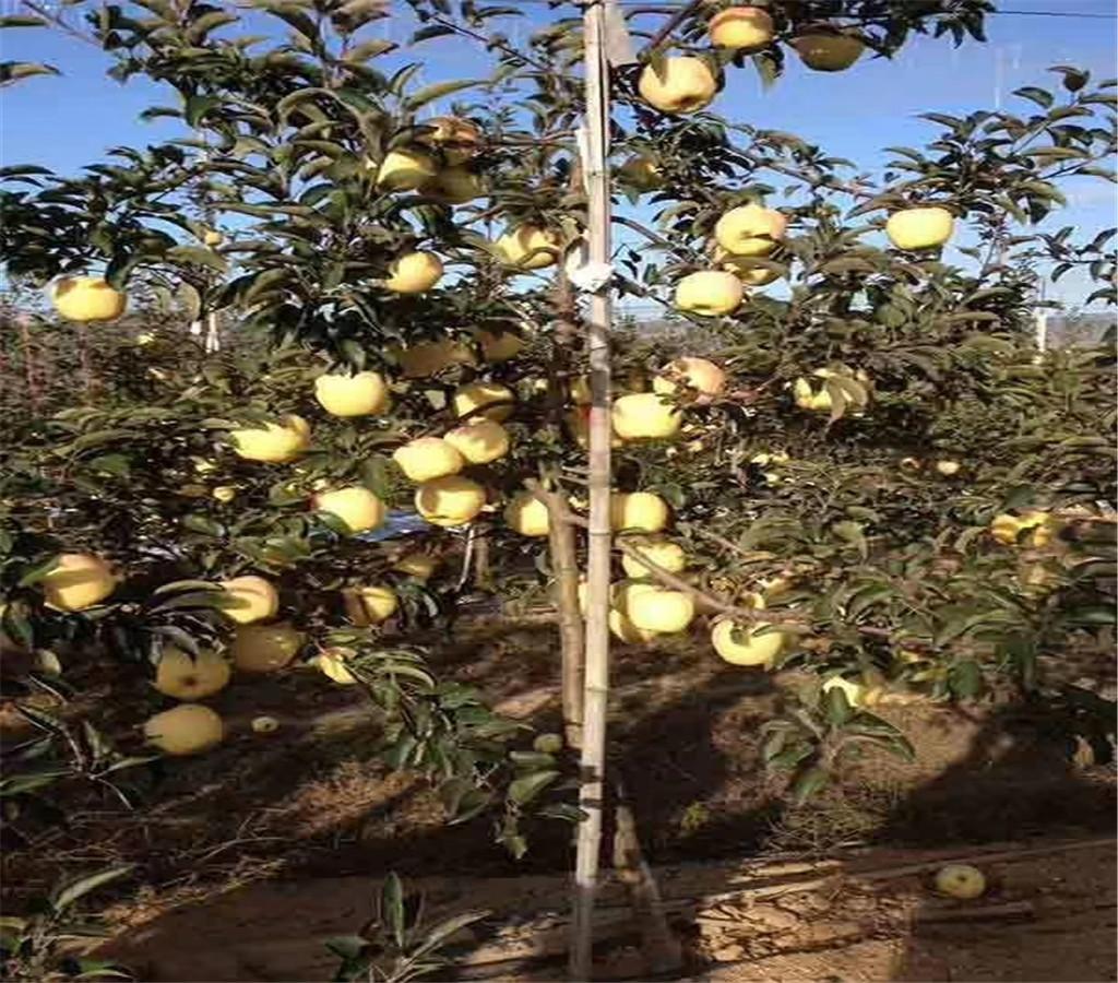好吃的蘋果苗蘋果苗基地