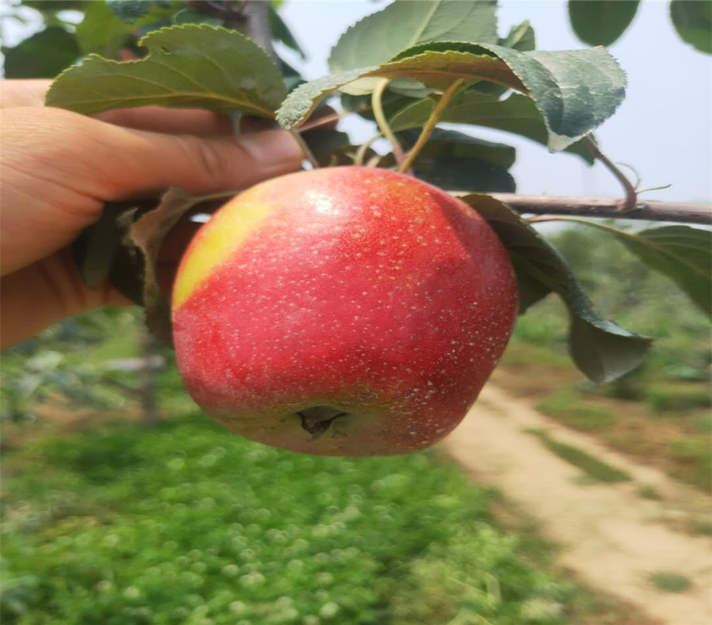 煙富8號蘋果苗蘋果苗基地