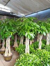 2018植物养殖价格 报价 植物养殖批发 第6页 黄页88园林网