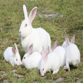 一只比利时种兔多少钱比利时种兔价格