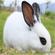 比利时种兔价格