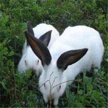 那里有出售杂交野兔种兔的杂交野兔养殖利润