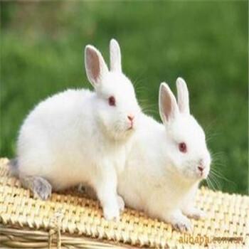 宠物兔一般多少钱一只宠物兔价格