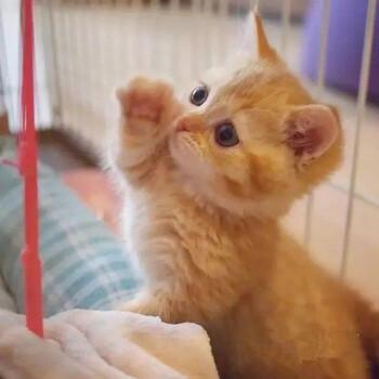 现在一只金渐层宠物猫猫仔多少钱金渐层猫咪价格
