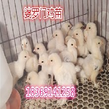 梵天鸡苗适合冬天喂养吗小梵天鸡怎么卖的青年梵天鸡多少钱一只